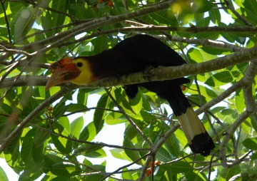 Rufous-headed hornbill Philippines Palawan endangered species bird