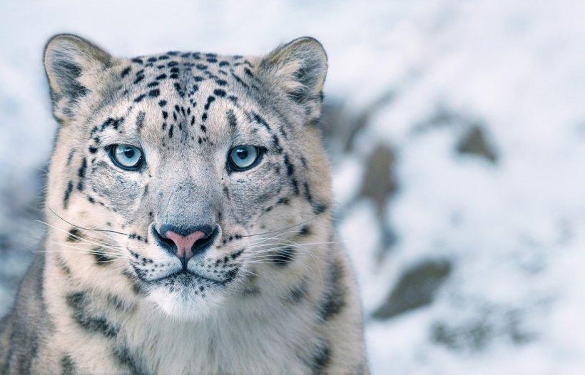Snow Leopard Tim Flach