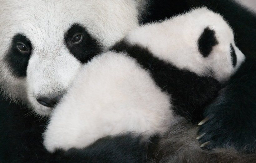 Giant Panda Mother & Cub Tim Flach
