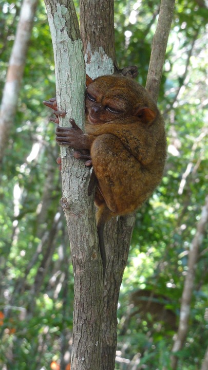 palawan philippine tarsier primate endangered species