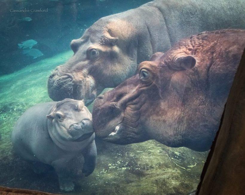 fiona baby hippo cincinnati zoo swimming mother father