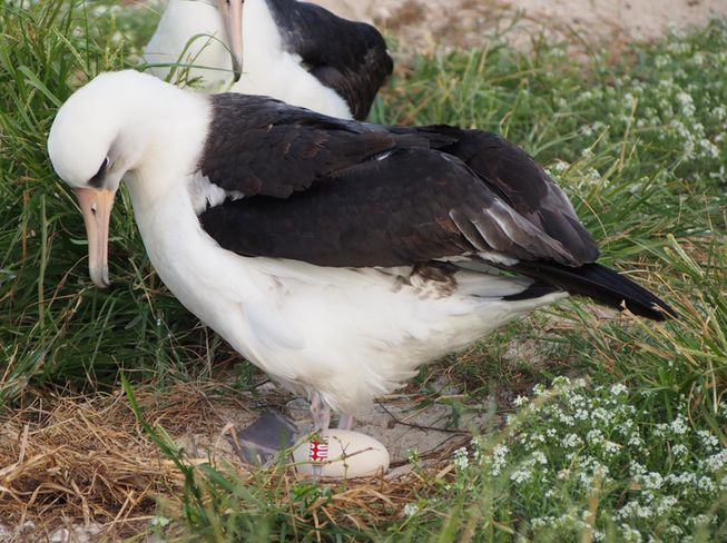 Wisdom 67 years old laysan albatross Mr Goo egg incubating Midway