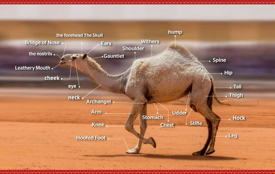 camel body parts beauty middle east