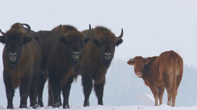 swoboda polish limousin cow runaway wild bison herd poland