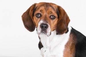 beagle dog mammal lab animal testing sad