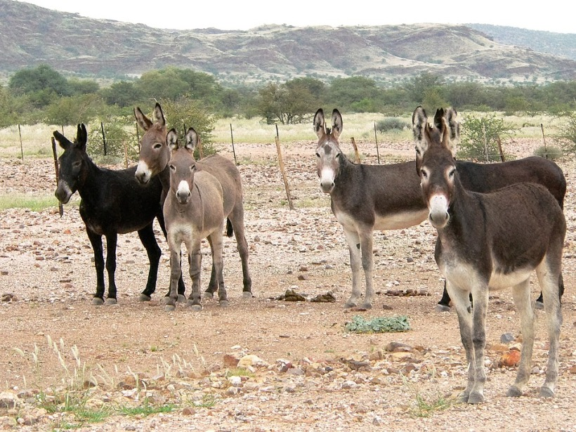 donkeys africa equines herd black brown