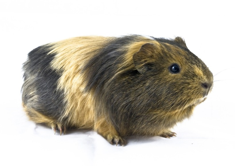 guinea pig animal mammal south america furry