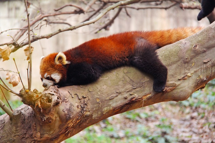 red panda endangered China wildlife rare