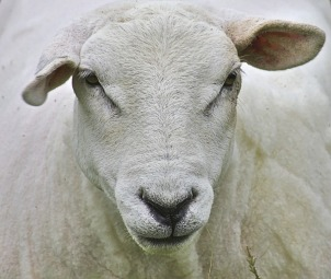 white sheep shorn mammal lab animal testing