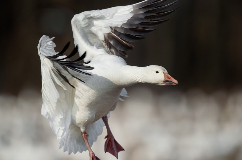 snow goose flying flight landing bird