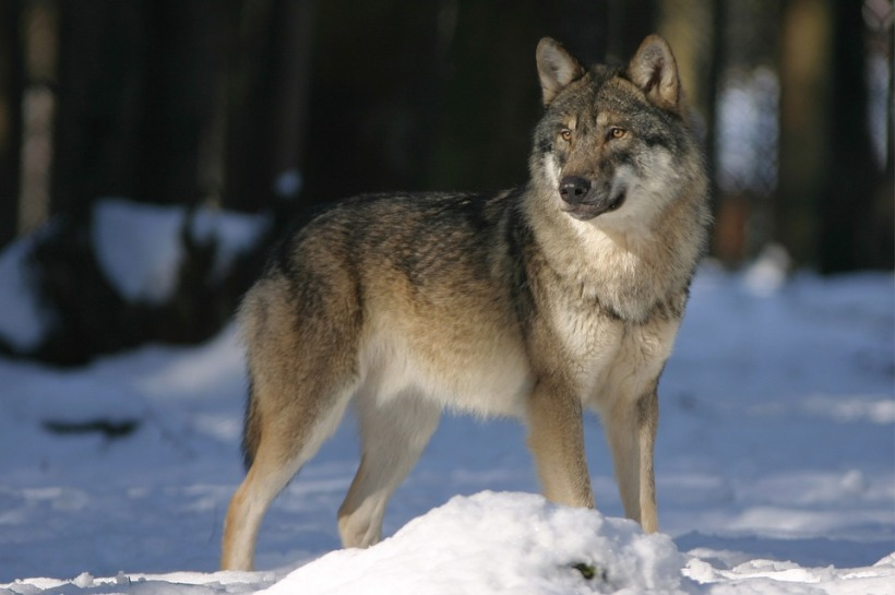 Grey wolf snow wildlife predator wild