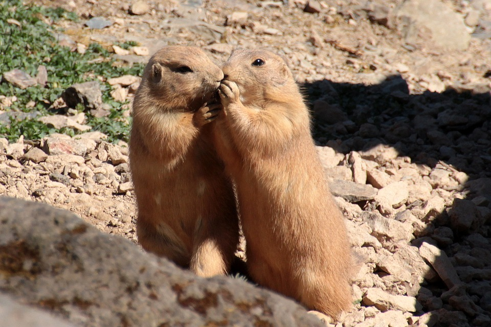 black-tailed-prairie-dog-1374566_960_720