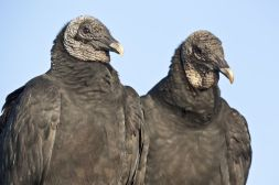 black vultures mate for life couple pair birds scavengers