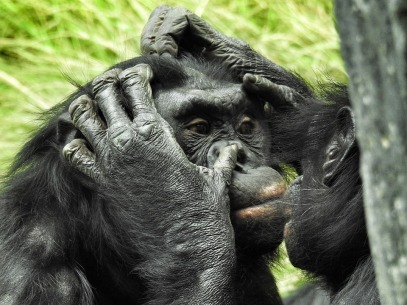 bonobos couple mates pair grooming promiscuous primates
