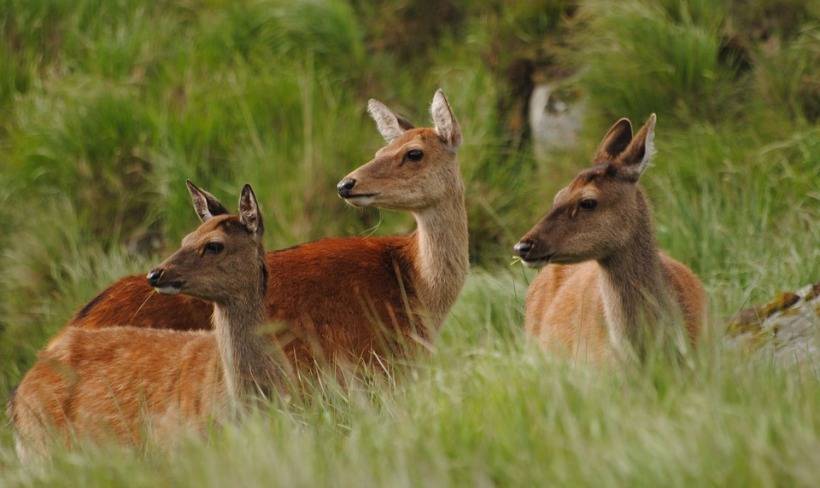 sika deer Japan wildlife herd alert listening