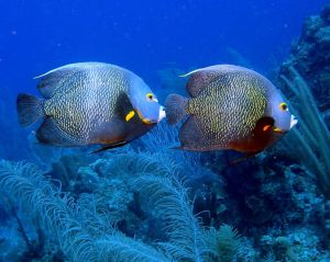french angelfish mate for life pair couple marine fish