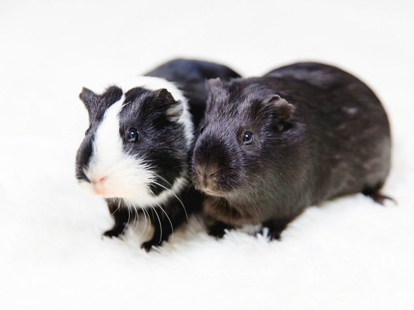 black and white guinea pigs animal testing labs rodents cute