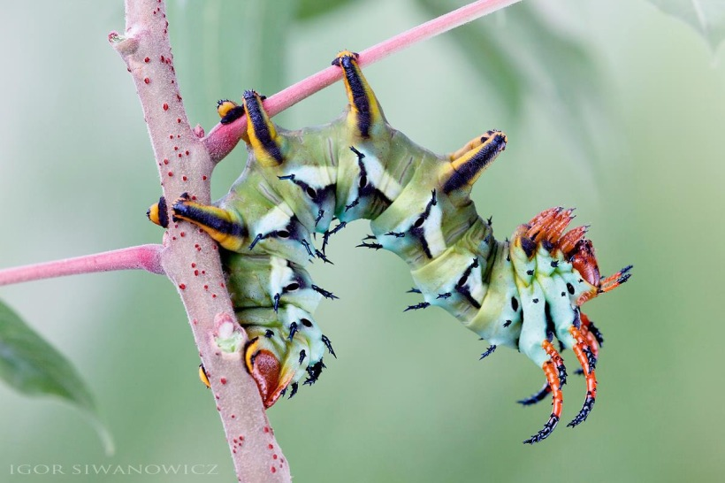 Igor Siwanowicz nature photography caterpillars