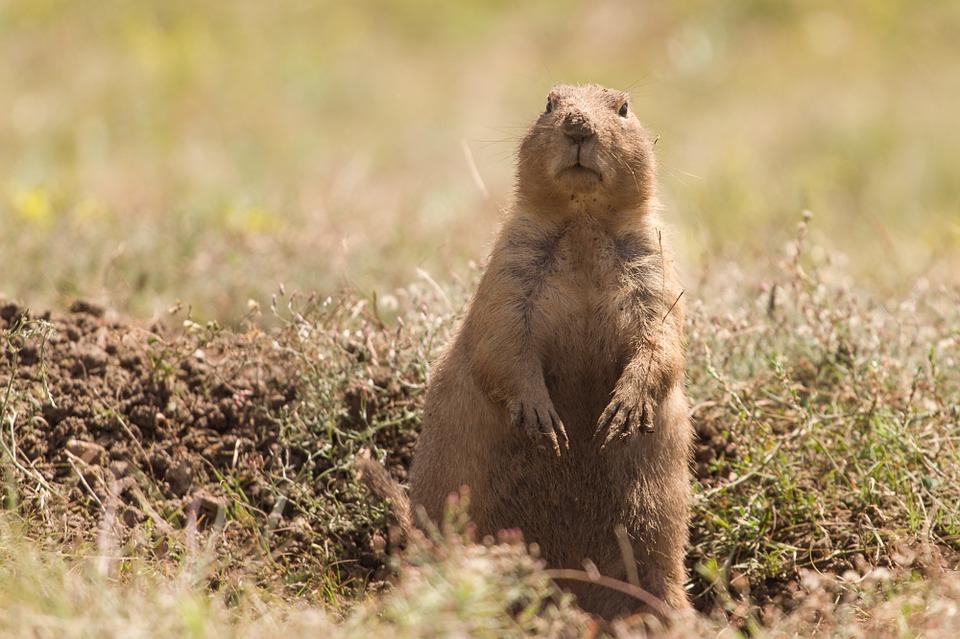 prairie-dog-457521_960_720