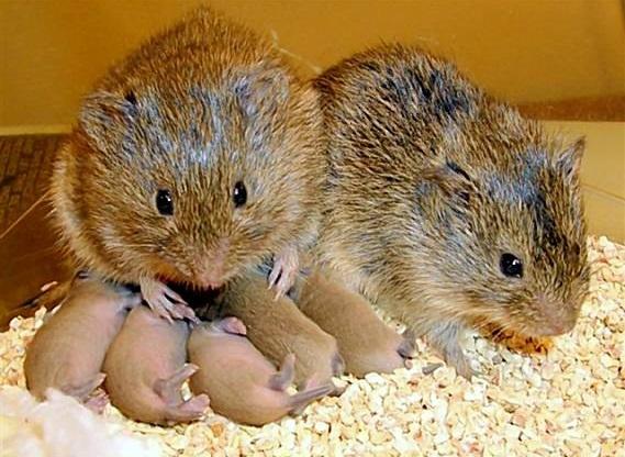 Prairie_voles