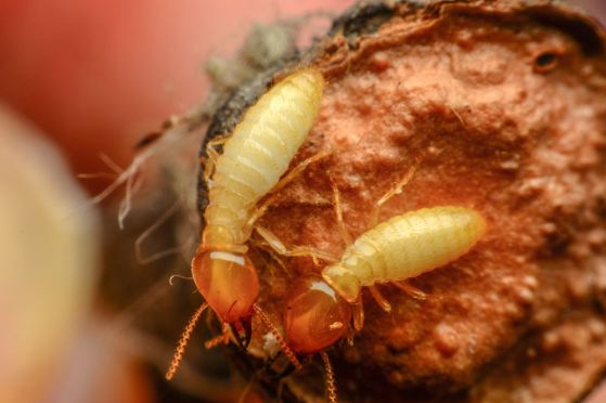 termites mates for life couple pair insects