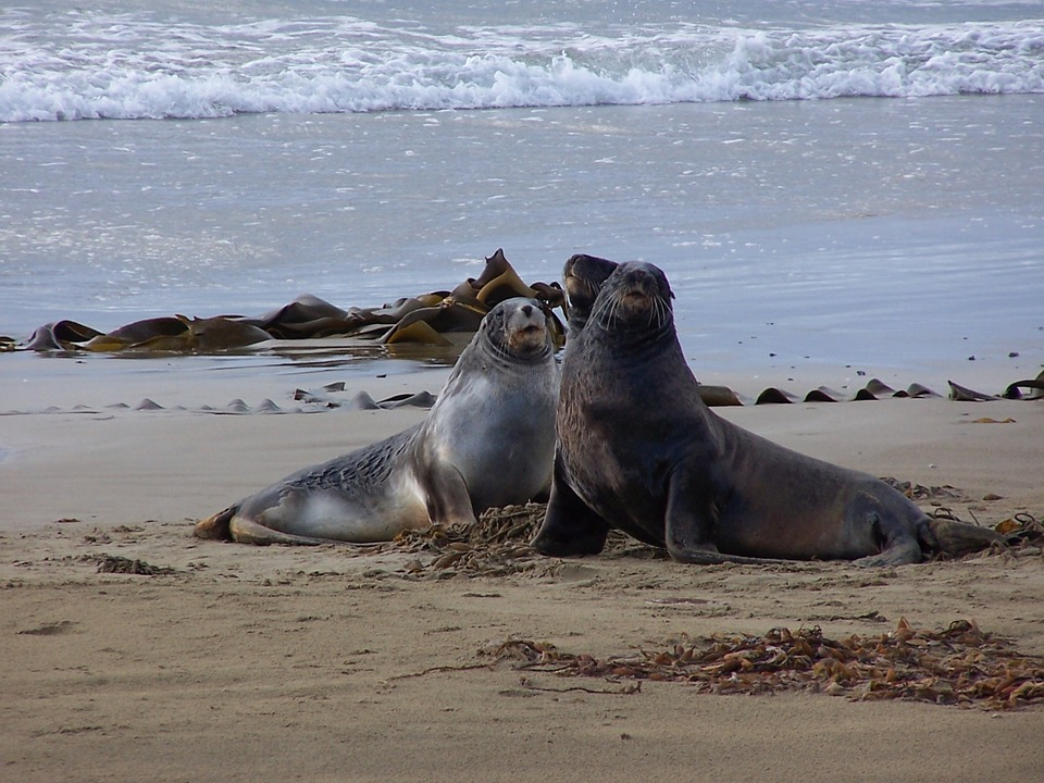 sea-lions-1534914_960_720