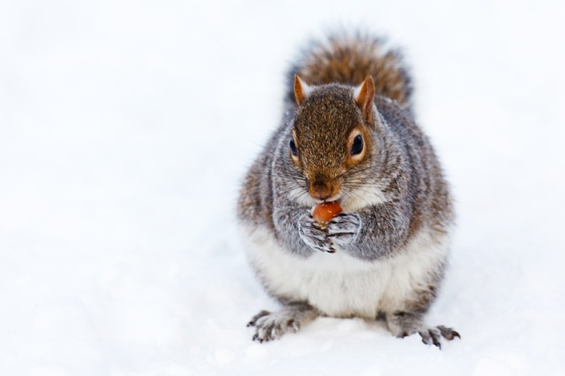 squirrel grey acorn snow rodent