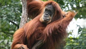 sumatra orangutan endangered ape primate