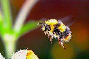 bumble bee pollinator insect