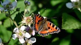 red admiral butterfly insect pollinator