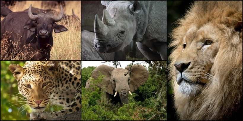 wildlife collage leopard musk ox rhino elephant lion africa