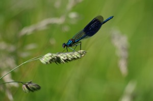 damsel fly blue insect