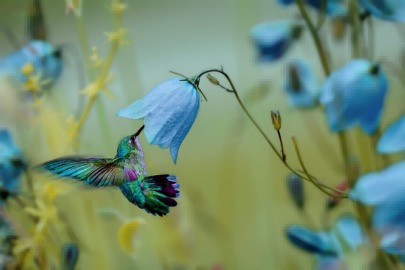 humming bird blue flowers harebells