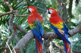 red blue macaw parrot tropical jungle birds