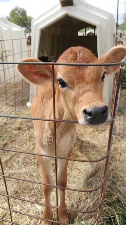 calf pen baby cow cage