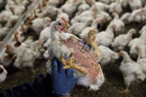 chicken farm conditions cruelty neglect