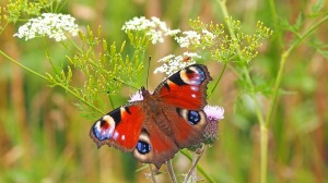 peacock butterfly wildlife insect pollinator