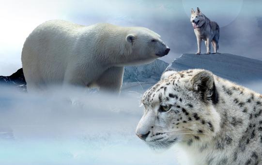endangered snow leopard polar bear grey wolf wildlife