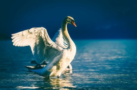 swan lake water fowl bird