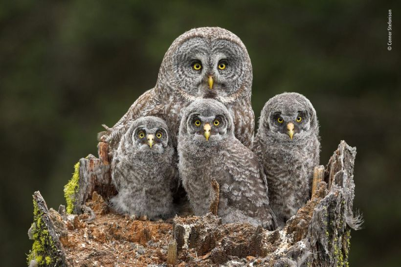 Wildlife Photographer of the Year Connor Stefanison owl family chicks