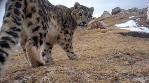 Snow leopard on Tibetan mountain