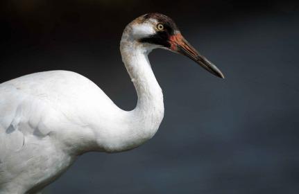 Endangered whooping crane