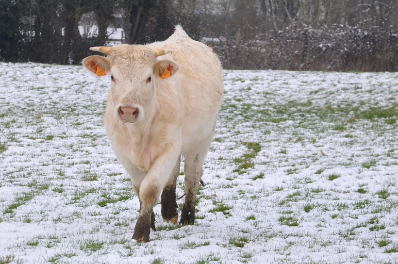 Cow in snowy field