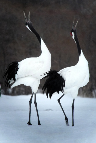 The beautiful red-crowned crane Korea Japan