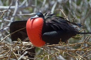 Endangered great frigate bird displaying red puffed out chest
