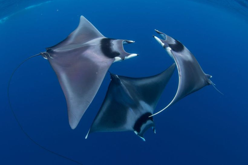 Courting devil ray ballet Duncan Murrell Ocean Art