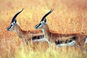 The chiru or tibetan antelope