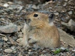 Tibetan plateau pika rodent