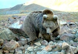 Tibetan bear on Tibetan plateau