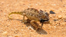 horned lizard reptile namibia